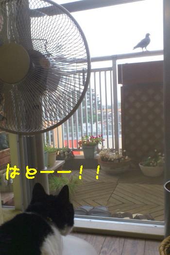 鳩と扇風機